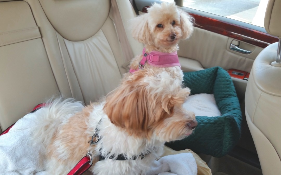 Car Safety Belts for Pups!